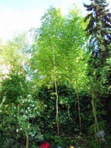 maibaum1